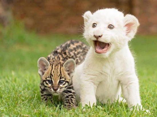 美国内布拉斯加动物园诞生了一头罕见的小白狮。   中新网11月27日电 据台湾中广新闻网27日报道,美国内布拉斯加动物园诞生了一头小白狮,它是个壮丁,比正常的新生狮宝宝,平均体重重了将近半公斤。   动物园说,狮妈妈一胎生了三只,两公一母,三头小狮体重都超过1.8公斤,其中有一头是白狮。   这头白狮是母系还是父系遗传,并不清楚,也说不定父母都有隐性基因。   白狮并不是患有白化症的狮子,而是非洲狮的变种。动物学家认为,它可能是一种远古的物种,生活在北极等寒冷地带,在冰雪覆盖的地区,白色是保护色。