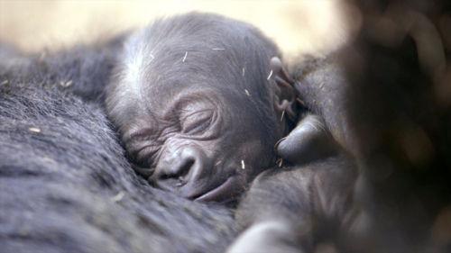 美圣迭戈动物园诞生猩猩宝宝 出生4天后亮相(图)