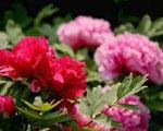 牡丹绽放洛阳发展之花