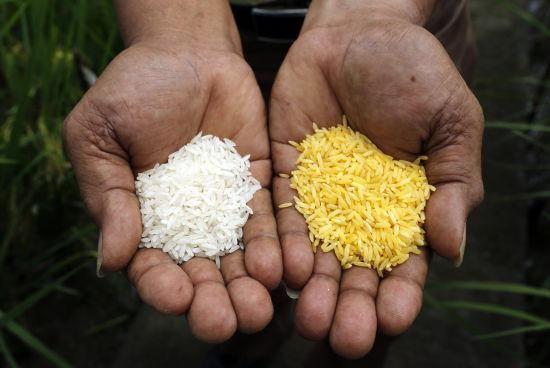 """黄金大米既然是一种""""慈善产品"""",公众当然有不吃白不吃的心理,也许会受到追捧"""