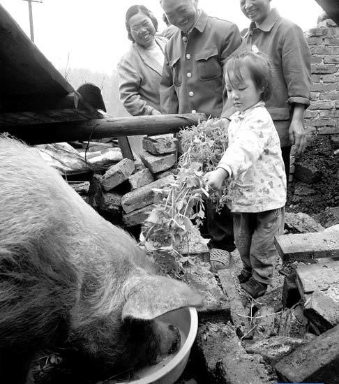 大肥猪吃木炭充饥在废墟下存活36天(图)
