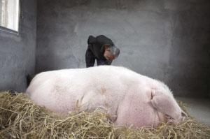 浙江泰顺猪王体重达1吨专人照顾饮食起居(图)