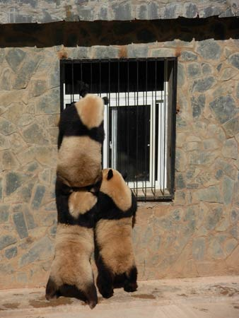 灾区熊猫震后阴影渐显害怕打雷和金属撞击