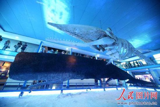 今年1月20日,一条抹香鲸在山东威海荣成海域上岸,据有关专家介绍,这条长19.6米、体重50.1吨的抹香鲸,是目前世界上岸最大的抹香鲸,非常珍贵,百年不遇。   该抹香鲸成功落户于刘公岛,制作成标本。刘公岛管委聘请国内鲸类保护利用的权威机构将鲸体制作成皮、骨两副标本,并专门辟建鲸馆予以展示。经过七个多月的紧张筹建,建筑面积达1600平方米,总投资1200万元的鲸馆于10月26日正式对外开放了。在鲸体标本制作和鲸馆的建设中创造了项纪录:一是原始鲸体保存最好。二是表皮切片最少(只有三片)。三