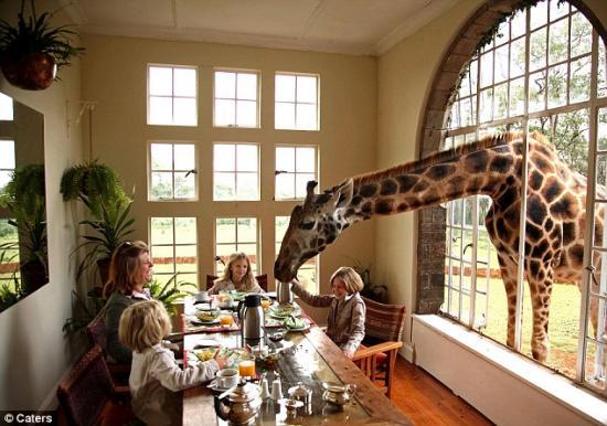 肯尼亚家庭收养8头珍稀长颈鹿(图)