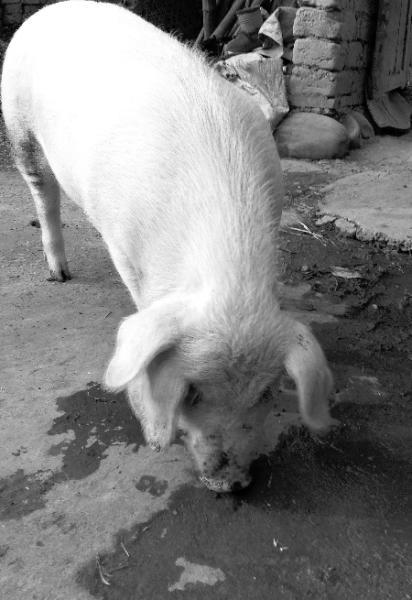 三只耳 看这只特立独行的猪