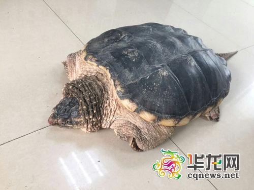 """发""""鳄龟""""长着乌龟模样,有着一条长长的鳄鱼尾巴. 渝北区公安分"""