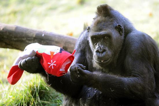 组图:伦敦动物园大猩猩享受圣诞节大餐