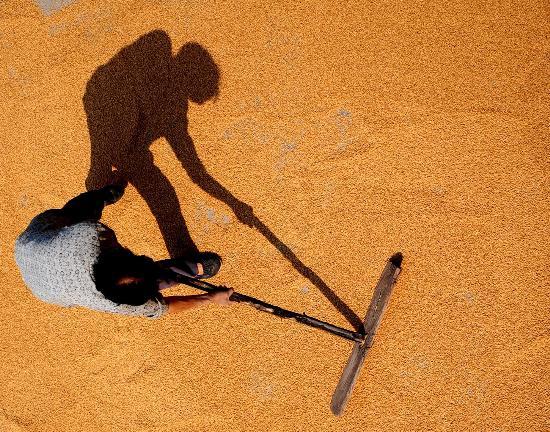 图文:受灾农民张代云正在晾晒灾后抢收的小麦