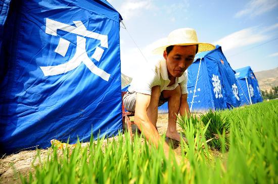图文:受灾农民张保全正在收秧苗