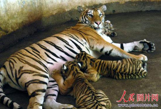 """图片 正文    江西赣州森林动物园一名为""""艳艳""""的5岁东北虎一胎产下3"""
