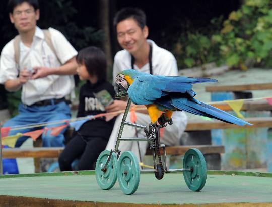10月3日,杭州野生动物世界里的鹦鹉明星正在表演节目。   当日,国庆假期已经过半,因为能够近距离接触到各类动物,了解动物知识,许多家长和孩子来到动物园与动物们共度黄金周。   新华社记者 徐昱 摄