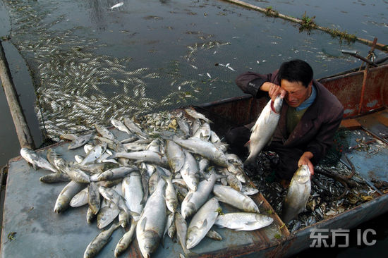 组图:山东郯城500箱鲢鱼大面积死亡