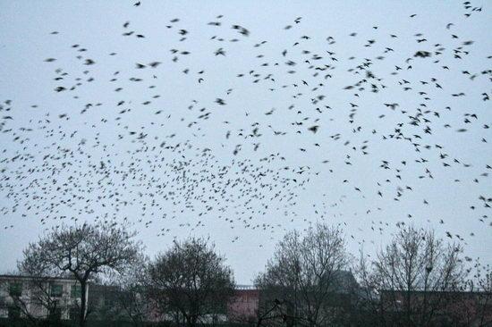 数万飞鸟成群飞入树林栖息(组图)