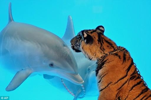 好可爱!小海豚和小老虎隔着玻璃对望