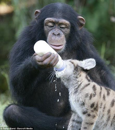 大猩猩用奶瓶给幼狮喂奶(组图)