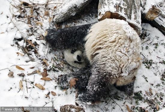 组图:美国动物园内大熊猫泰山在雪中翻跟斗
