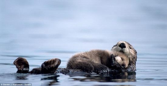 水獭宝宝在妈妈怀中酣睡过河(组图)