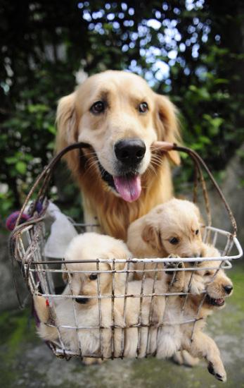 組圖:主人讓狗爸爸叼著狗崽子去賣
