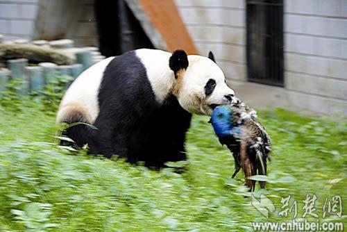 大熊猫咬住孔雀的脖子奔跑。通讯员 陈立云 摄