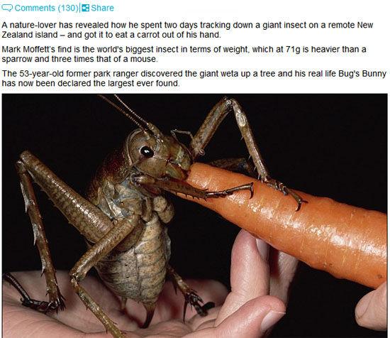 巨沙螽吃萝卜(网页截图)