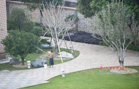 10月11日下午,东莞中堂一村。村支书的豪华别墅里,有人给树木浇水。南都记者 陈奕启 摄
