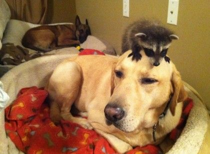 何斯照顾小浣熊。翻自美国《哈芬登邮报》