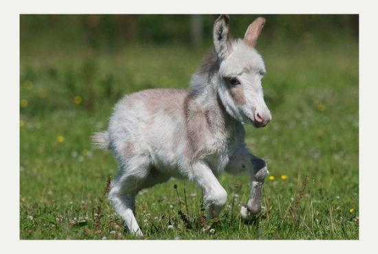 英国迷你小驴降生身高60厘米娇小可爱(图)