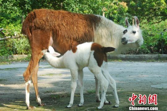 """野生动物园羊驼诞生""""神兽""""萌宝(图)"""