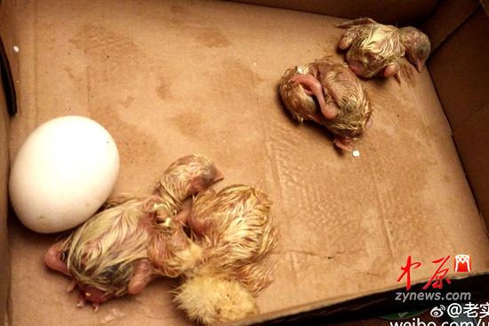 孵出了好几只小鸡