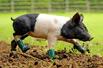 洁癖小猪穿靴走路