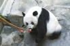网友疑熊猫遭虐待