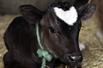 牛犊头长心形图案