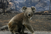 澳大利亚考拉濒危