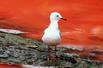 澳红藻爆发海水血红