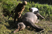 印度大象遇车祸死亡