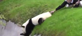 别拦我随我去!大熊猫只身冒险最终被救回