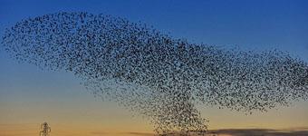 英上空现椋鸟群变换队形:防止猎手捕杀和保暖