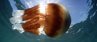 英国海岸附近现巨型水母:重达64斤