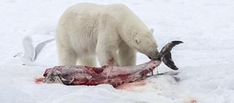 科学家首次拍到北极熊吃海豚:冷藏剩余尸骸