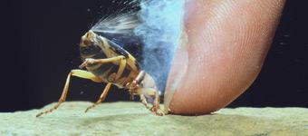 12种世界最臭的动植物:投弹手甲虫