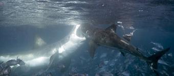 大白鲨为争食物自相残杀:同一时间发起攻击