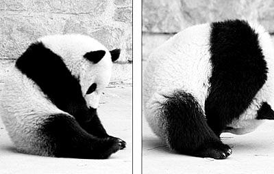 小学三年级科学小制作会翻跟头的熊猫