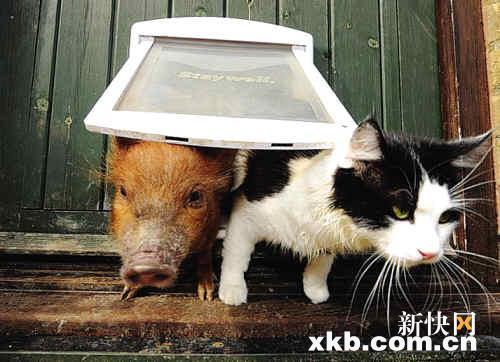 这一狗一猫都不是吝啬的小动物,它们愿意和迷你猪们分享自己的一切