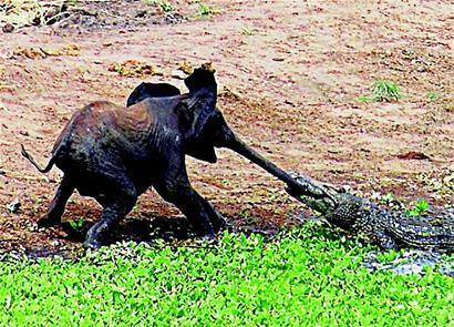 大象鼻子怎么变长的?