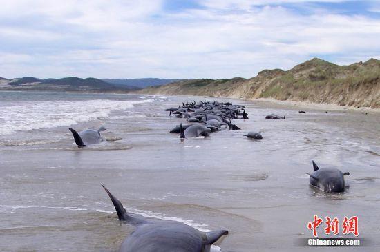 120头巨头鲸集体搁浅在新西兰南部斯图尔特岛的海滩上,超过100头鲸鱼已经死亡。