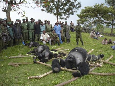 图文:遭非法杀害的山地大猩猩