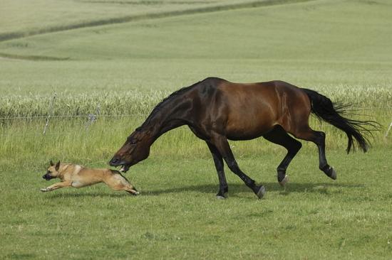 图文:马张嘴欲咬牧羊犬