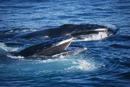 英国媒体公布海鸥鲸口抢食照片(组图)