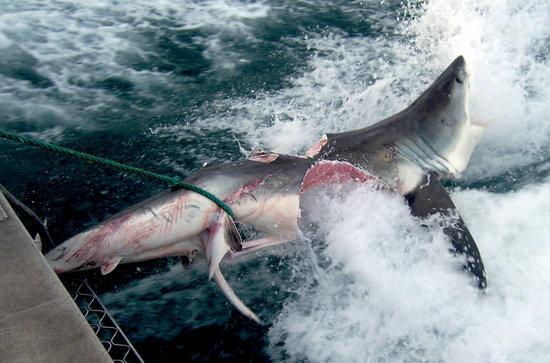 澳洲海域出现几乎被撕咬成两半大白鲨(图)